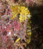 Image of Hippocampus ingens (Pacific seahorse)