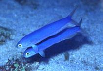 Image of Hoplolatilus chlupatyi (Chameleon sand tilefish)