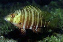 Image of Hoplopagrus guentherii (Mexican barred snapper)