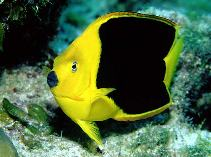 Image of Holacanthus tricolor (Rock beauty)