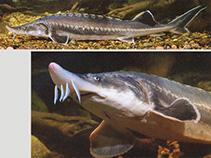 Image of Huso huso (Beluga)