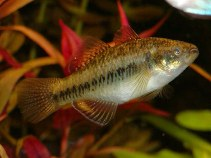 Image of Hypseleotris compressa (Empire gudgeon)