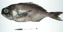 Image of Hyperoglyphe perciformis (Barrelfish)