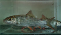 Image of Hypselobarbus thomassi (Red Canarese barb)