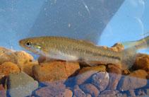 Image of Jenynsia unitaenia