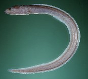 Image of Kaupichthys hyoproroides (False moray)