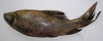 Image of Labeo fimbriatus (Fringed-lipped peninsula carp)