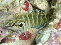 Image of Brockius nigricinctus (Spotcheek blenny)