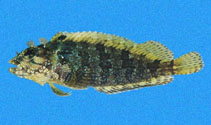 Image of Labrisomus xanti (Largemouth blenny)