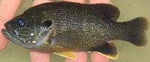 Image of Lepomis cyanellus (Green sunfish)