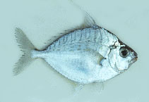 Image of Aurigequula fasciata (Striped ponyfish)