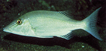 Image of Lethrinus microdon (Smalltooth emperor)