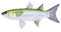 Image of Gracilimugil argenteus (Flat-tail mullet)