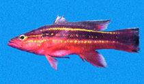Image of Liopropoma fasciatum (Wrasse ass bass)