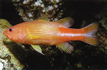 Image of Liopropoma multilineatum (Manyline perch)