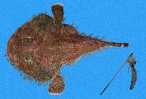 Image of Lophiodes caulinaris (Spottedtail angler)