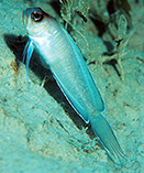 Image of Lonchopisthus micrognathus (Swordtail jawfish)