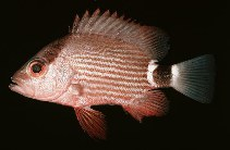Image of Lutjanus malabaricus (Malabar blood snapper)