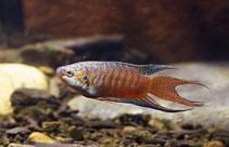 Image of Macropodus opercularis (Paradisefish)