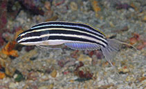 Image of Meiacanthus cyanopterus (Bluefin fangblenny)