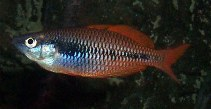 Image of Melanotaenia parva (Lake Kuromai rainbowfish)