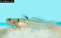 Image of Mugilogobius chulae (Yellowstripe goby)
