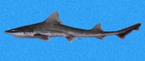 Image of Mustelus henlei (Brown smooth-hound)