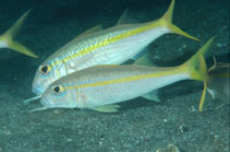 Image of Mulloidichthys martinicus (Yellow goatfish)