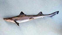 Image of Mustelus schmitti (Narrownose smooth-hound)