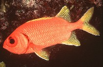Image of Myripristis chryseres (Yellowfin soldierfish)