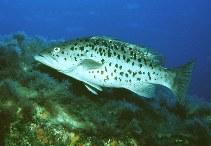 Image of Mycteroperca fusca (Island grouper)