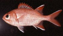 Image of Myripristis woodsi (Whitespot soldierfish)