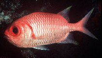 Image of Myripristis xanthacra (Yellowtip soldierfish)