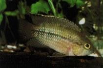 Image of Nannacara aureocephalus