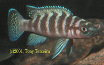 Image of Neolamprologus cylindricus