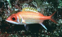 Image of Neoniphon marianus (Longjaw squirrelfish)