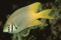 Image of Neoglyphidodon nigroris (Black-and-gold chromis)
