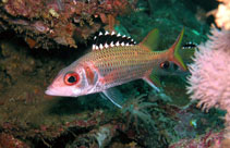 Image of Neoniphon opercularis (Blackfin squirrelfish)