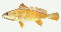 Image of Nibea albiflora (Yellow drum)