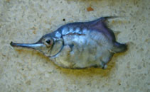 Image of Notopogon macrosolen (Longsnout bellowfish)