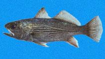 Image of Odontoscion eurymesops (Galapagos croaker)