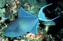 Image of Odonus niger (Red-toothed triggerfish)