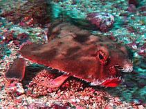 Image of Ogcocephalus porrectus