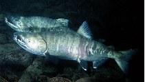 Image of Oncorhynchus keta (Chum salmon)