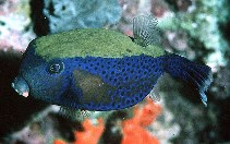 Image of Ostracion cyanurus (Bluetail trunkfish)