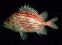Image of Ostichthys kaianus (Deepwater soldierfish)