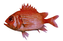 Image of Ostichthys sheni (Shen's soldierfish)