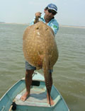 Image of Paratrygon aiereba (Discus ray)