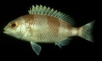 Image of Parascolopsis inermis (Unarmed dwarf monocle bream)