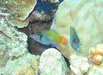 Image of Pervagor janthinosoma (Blackbar filefish)